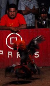 Foto combattimento di polli